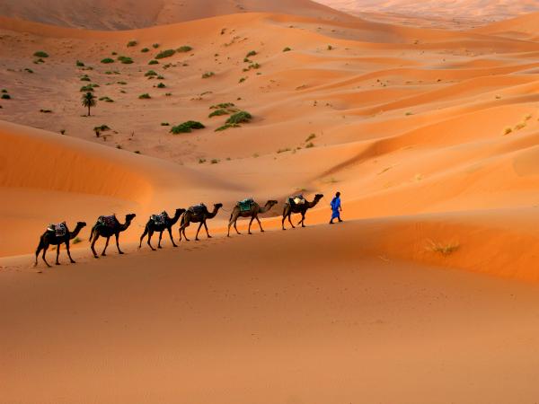 camellos-desierto