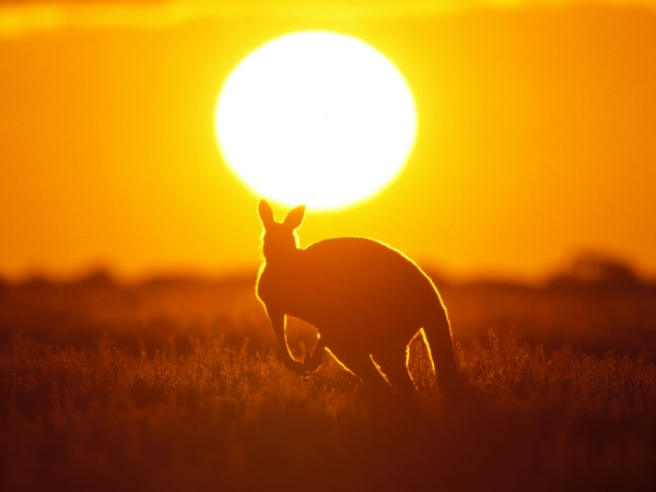 canguro-atardecer