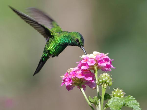 colibri-come