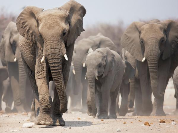 elefante-manada