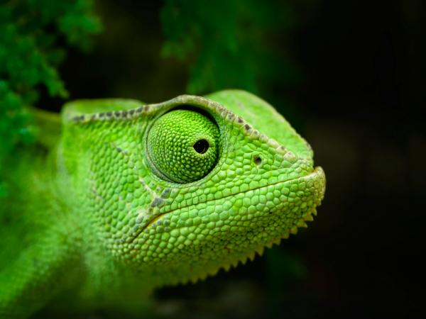 lagarto-verde