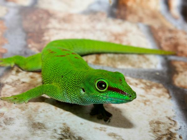 El lagarto verde