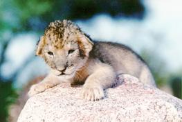 cachorro león