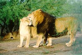 león y leona
