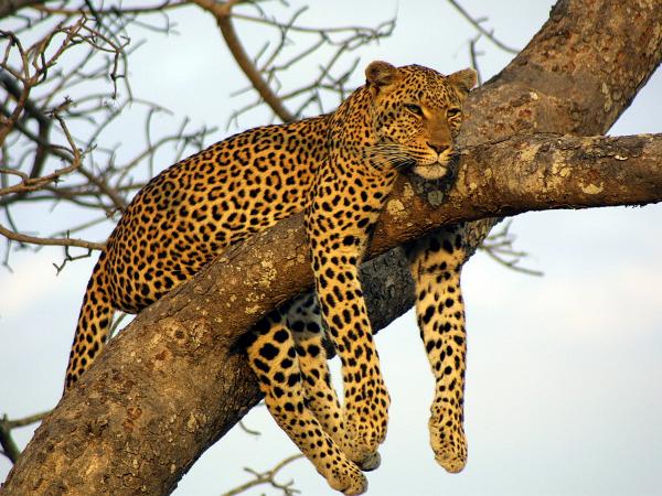 Animales Leopardo