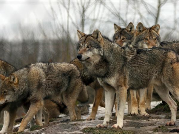 lobos-manada