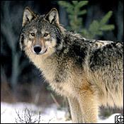 Post sobre Lobos (en peligro de extincion)