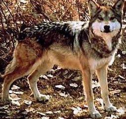 Animales salvajes en su habitad. Lobo1