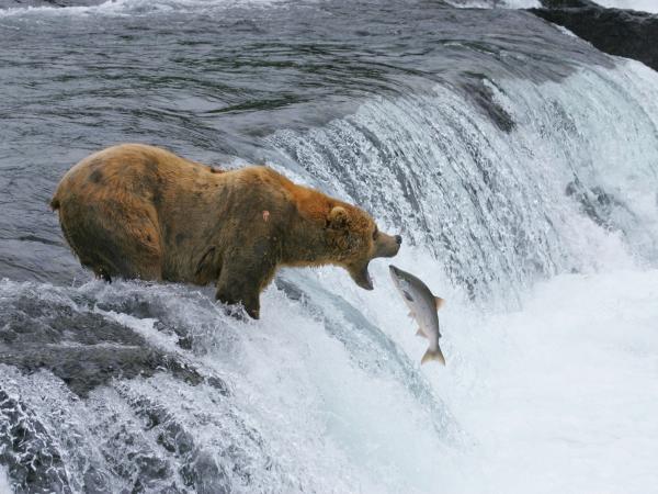 oso-comun