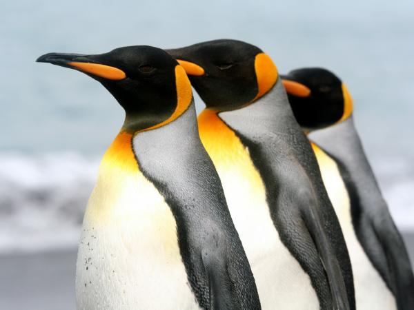 pingüino-emperador