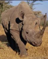 Edna Molewa propone quitar los cuernos a los rinocerontes