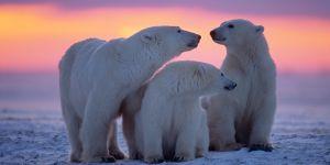 Conoce a los animales que habitan la tierra, hoy Oso Polar