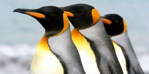 Conoce a los animales que habitan la tierra, hoy Pingüinos